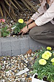 PLANTING TAGETES ERECTA IN BORDER