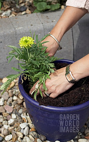 PLANTING_UP_CONTAINER__TAGETES_ERECTA