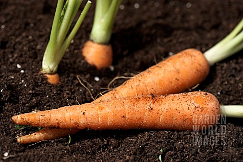 MINI_VEGETABLES__CARROTS_GROWING_AND_LIFTED