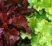 LATUCA SATIVA SALAD BOWL, (LETTUCE SALAD BOWL RED & GREEN MIXED)