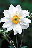 ANEMONE HYBRIDA, JAPONICA, WHITE QUEEN, GEANTE DES BLANCHES,  WHITE, FLOWER, CLOSE UP, LATE SUMMER, AUTUMN