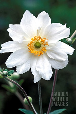 ANEMONE_HYBRIDA_JAPONICA_WHITE_QUEEN_GEANTE_DES_BLANCHES__WHITE_FLOWER_CLOSE_UP_LATE_SUMMER_AUTUMN