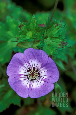 _GERANIUM__BUXTONS_BLUE__CRANESBILL_BUXTONS_VARIETY__CLOSE_UP_OF_FLOWER