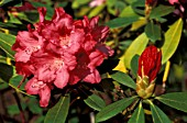 RHODODENDRON NOVA ZEMBLA,  PINK, FLOWERS, CLOSE UP