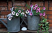 CONTAINERS GALVANISED WATERING CANS PETUNIA SURFINIA POT HEDERA IVY BRICK WALL