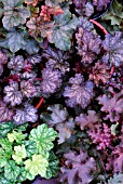 Mixed Heuchera