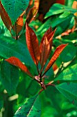PHOTINIA SPRING GROWTH,  NEW RED LEAVES.