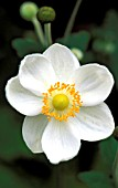 ANEMONE HYBRIDA, JAPONICA, HONORINE JOBERT,  WHITE, FLOWER, CLOSE UP, LATE SUMMER, AUTUMN
