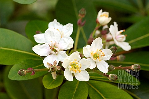 CHOISYA_TERNATA_MEXICAN_ORANGE_BLOSSOM