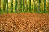 AUTUMN BEECH LEAVES CARPET