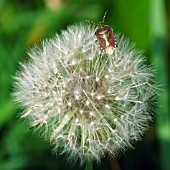 SHIELD BUG ON DANDELION SEEDHEAD,  TARAXACUM OFFICINALE.