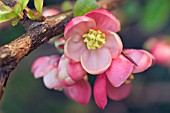 CHAENOMELES ENCHANTRESS (FLOWERING QUINCE)