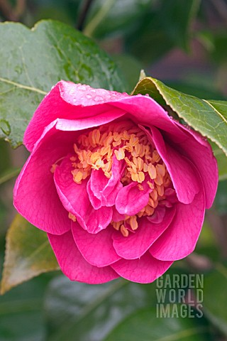 CAMELLIA_WILLIAMSII_ANTICIPATION