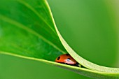 LADYBIRD IN A LILY LEAF