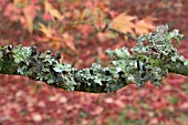 LICHEN ON ACER PALMATUM