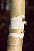 BETULA ERMANNII,  BARK,  BIRCH