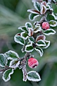 COTONEASTER HORIZONTALIS WITH FROST