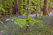 HYACINTHOIDES NON SCRIPTA,   NATIVE BRITISH BLUEBELL