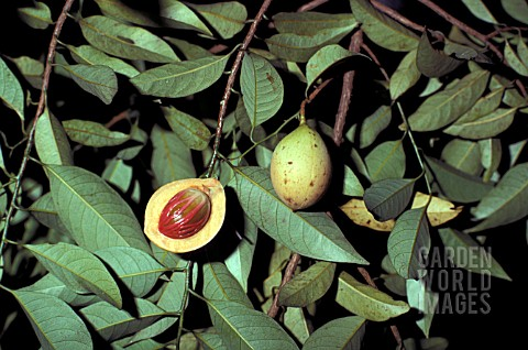 MYRISTICA_FRAGRANS_NUTMEG