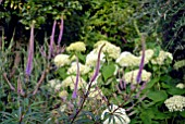 VERONICASTRUM VIRGINICUM FASCINATION AND HYDRANGEA ARBORESCENS ANNABELLE