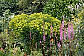 EUPHORBIA SCHILLINGII AND ASTILBE CHINENSIS VAR. DAVIDII IN MIXED BORDER