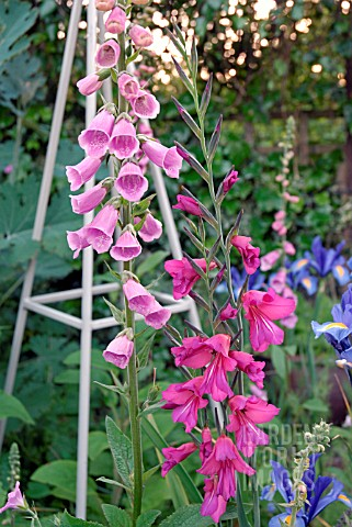 DIGITALIS_GLADIOLUS_AND_IRIS_BLUE_MAGIC_IN_COTTAGE_GARDEN_BORDER