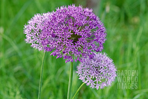 ALLIUM_PURPLE_SENSATION_AND_ALLIUM_AFLATUNENSE_FLOWER_HEADS