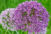 ALLIUM PURPLE SENSATION AND ALLIUM AFLATUNENSE FLOWER HEADS