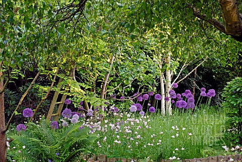 WOODLAND_GLADE_OF_ALLIUM_PURPLE_SENSATION