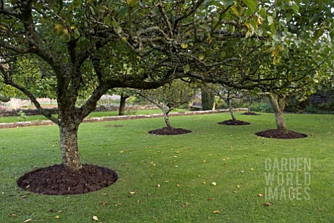 APPLE_TREES_AT_CLOVELLY_COURT_DEVON