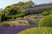 SLOPING GARDEN OF DIFFERENT LAVENDERS AT CLIFF HOUSE, DORSET