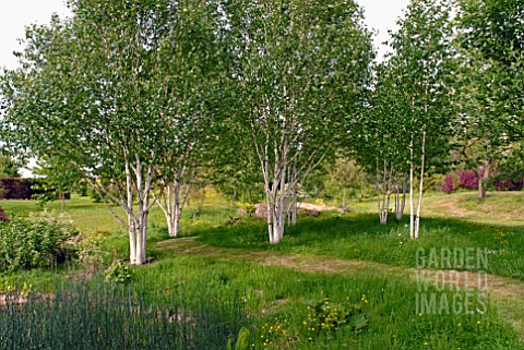 BETULA_UTILIS_VAR_JACQUEMONTII_AT_BIDDESTONE_MANOR_WILTS