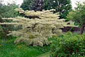 CORNUS CONTROVERSA VARIEGATA AT BIDDESTONE MANOR, WILTS