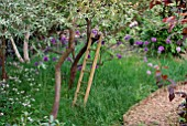 OLD LADDER AGAINST APPLE TREE IN WOODLAND GLADE WITH ALLIUM PURPLE SENSATION