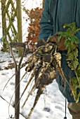 HARVESTING PARSNIPS IN SNOW COVERED GARDEN