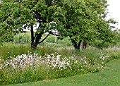 WILD FLOWER AREA IN GARDEN WITH ORCHARD TREES AND LEUCANTHEMUM VULGARE