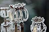 FROSTED SEEDHEADS OF PAPAVER SOMNIFERUM -Editorial use only