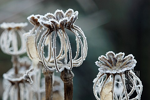 FROSTED_SEEDHEADS_OF_PAPAVER_SOMNIFERUM_Editorial_use_only
