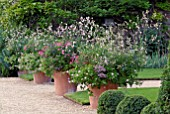 NICOTIANA MUTABILIS, PELARGONIUMS AND OTHER ANNUALS IN LARGE TERRACOTTA POT AT HANHAM COURT