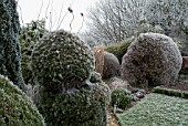 FROSTY GARDEN WITH CONIFERS AND SHRUBS