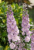 SPIRES OF LILAC DELPHINIUM FLOWERS IN FRONT OF VARIEGATED HOLLY LEAVES