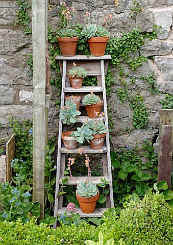 POTS_OF_ECHEVERIA_ELEGANS_ARRANGED_ON_OLD_STEPLADDER