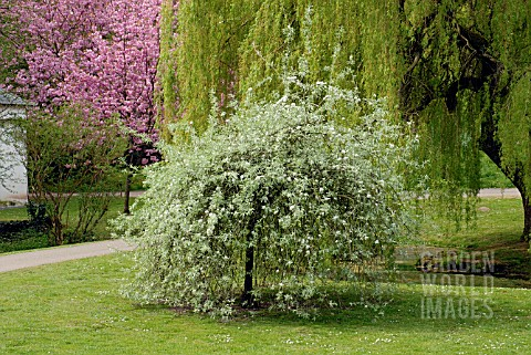 PYRUS_SALICIFOLIA_PENDULA_AND_SALIX_BABYLONICA_IN_SPRING_IN_GARDENS_OF_ST_FAGANS_CASTLE__CARDIFF