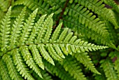 FROND OF FERN DRYOPTERIS AFFINIS