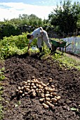 HARVESTING POTATOES AT DAGGS ALLOTMENTS, THORNBURY, BRISTOL. NGS OPEN DAY