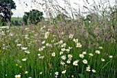 WILDFLOWER MEADOW WITH OX-EYE DAISIES