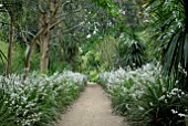 AVENUE OF LIBERTIA GRANDIFLORA AT ABBOTSBURY SUB-TROPICAL GARDEN