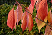 PRUNUS AMANOGAWA LEAVES IN AUTUMN