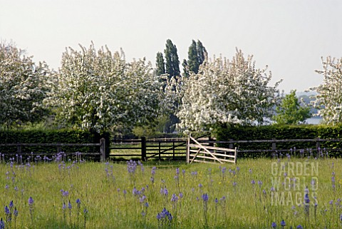 CAMASSIAS_IN_MEADOW_WITH_FLOWERING_CRAB_APPLE_TREES_AT_HOLT_FARM_IN_SOMERSET