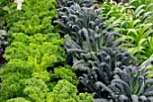 CURLY KALE AND KALE NERO DI TOSCANA IN VEGETABLE PLOT